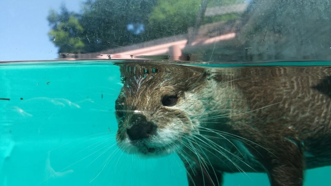 Otter swimming in glass pool at Gulf Breeze Zoo