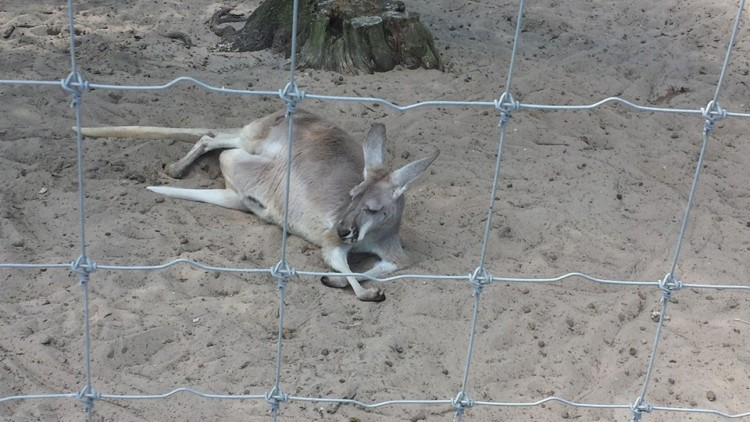 Kangaroo at the Gulf Breeze Zoo near Pensacola Florida
