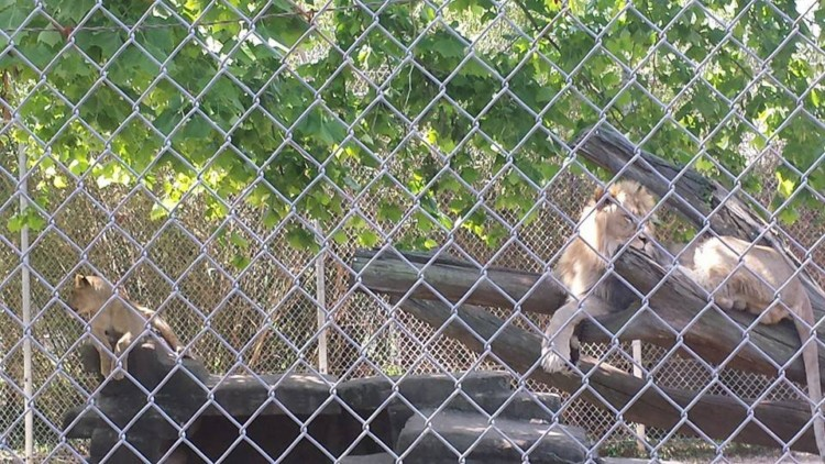 A lion behind a chain link fence at the Gulf Breeze Zoo